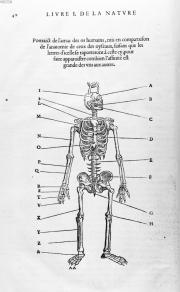 Portraict de l'amas des os humains - L'histoire de la nature des oiseaux, P. Belon, 1555
