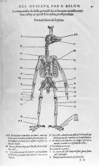 Portraict des os de l'oyseau - In L'Histoire de la nature des oyseaux, P. Belon, 1555