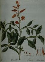 Quassia Amarga. Almeida, Francisco Tomás de, 1778-1866 (grav.) Lisboa: Typographia Chalcographica e Litteraria do Arco do Cego, 1801. Arquivo digital da Brasiliana USP.