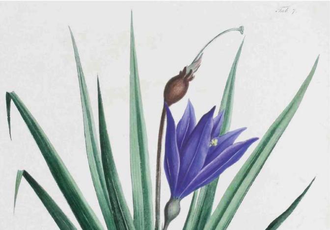 A Flora Brasileira de von Martius